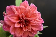 Beautiful colorful dahlia close up in my garden stock image
