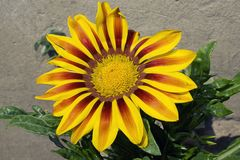 Very nice colorful gazania in my garden royalty free stock photos