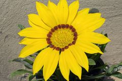Very nice colorful gazania in my garden stock photo