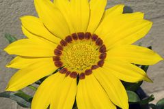 Very nice colorful gazania in my garden royalty free stock image