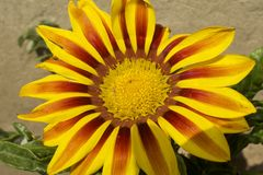 Very nice colorful gazania in my garden royalty free stock photo