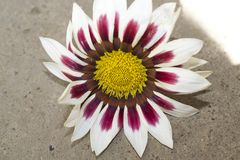 Very nice colorful gazania in my garden royalty free stock photography