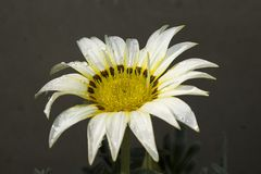 Very nice colorful gazania in my garden stock images