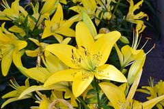 Beautiful colorful lilly close up in my garden Royalty Free Stock Images