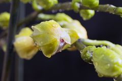 Very nice colorful orchid bud close up in my room Stock Photography