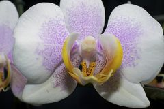 Very nice colorful orchid close up in my room Royalty Free Stock Image