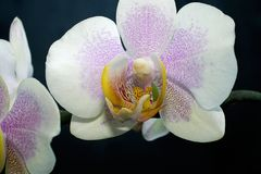 Very nice colorful orchid close up in my room Stock Photos