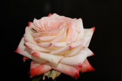 Very nice colorful rose in my garden Royalty Free Stock Images