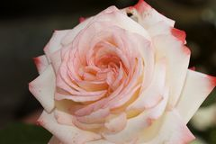 Very nice colorful rose in my garden Stock Photos