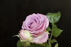 Very nice colorful rose in my garden Stock Image