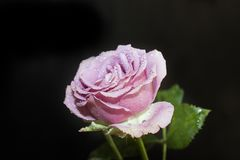 Very nice colorful rose in my garden Royalty Free Stock Photos