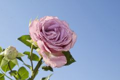 Very nice colorful rose in my garden Royalty Free Stock Image