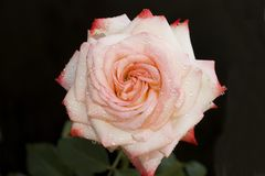 Very nice colorful rose in my garden Royalty Free Stock Photography