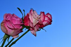 Very nice rose close up in the sunshine royalty free stock photo