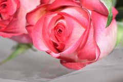 Very nice colorful roses close up in the sunsahine royalty free stock photo
