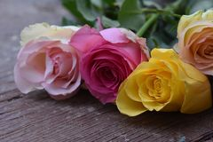 Very nice colorful roses close up in the sunsahine royalty free stock photos
