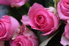 Very nice colorful roses close up in the sunsahine stock photo