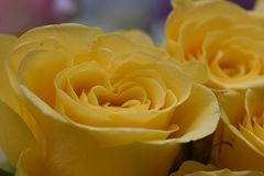 Very nice colorful roses close up in the sunsahine stock image