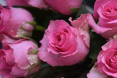 Very nice colorful roses close up in the sunsahine stock images