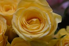 Very nice colorful roses close up in the sunsahine stock photography