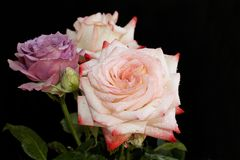 Very nice colorful roses in my garden Royalty Free Stock Image