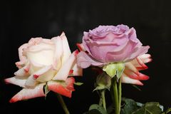 Very nice colorful roses in my garden Royalty Free Stock Photography
