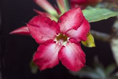 Very nice colorful adenium in my garden Stock Photography