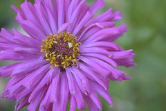 Nice colorful summer flower close up in my garden Royalty Free Stock Image