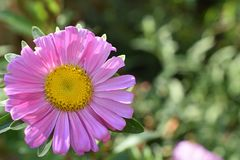 Nice colorfull summer flower close up in my garden Royalty Free Stock Photography
