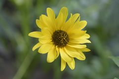 Very nice colorful summer weed flower in my garden Stock Photography