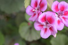 Very nice colorful summer weed flower in my garden Royalty Free Stock Photography