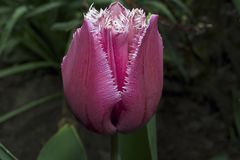 Very nice colorful tulip in my garden Stock Images