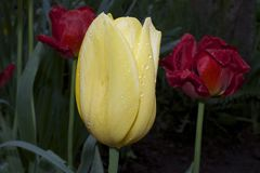 Very nice colorful tulip in my garden Royalty Free Stock Images