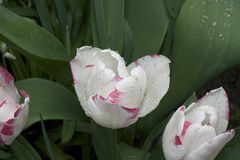 Very nice colorful tulip in my garden Stock Image