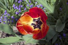 Very nice colorful tulip in the sunshine Stock Image