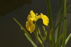 Very pretty water iris close up in my garden Stock Photos