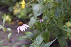 Very pretty summer flower close up in my garden stock photos