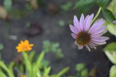 Very pretty summer flower close up in my garden Royalty Free Stock Photography