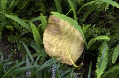 Yellow big leave and small green fern leaves Royalty Free Stock Photos