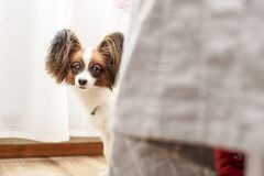 Very nice dog with big beautiful Papillon ears anxiously peeping. Very cute young dog Papillon with big beautiful ears anxiously peeping from behind the bed stock photos