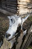A very nice and funny goat. Who looks through the fence royalty free stock photo