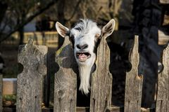 A very nice and funny goat. Who looks through the fence stock images