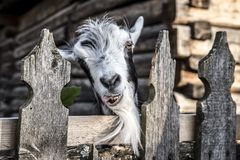 A very nice and funny goat. Who looks through the fence royalty free stock image