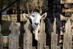 A very nice and funny goat. Who looks through the fence royalty free stock images