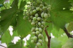 Very nice grape on the tree royalty free stock image