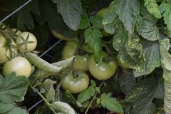 Very nice green tomatoes in my garden royalty free stock photography