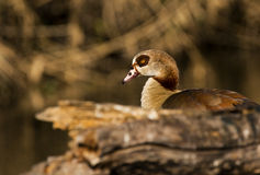 Very nice image of an egyptian goose Royalty Free Stock Photo