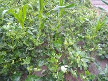 Very nice Ladyfinger plants in rural areas. Ladyfinger plants in rural areas looks so beautiful during morning time stock photography