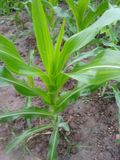 Very nice maize plants in rural areas. Looks so beautifull during morning time royalty free stock images