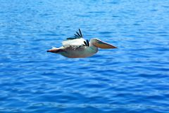 A very nice moment in nature. The pelican in flight over pure blue water. Very nice blue water in the background royalty free stock photography